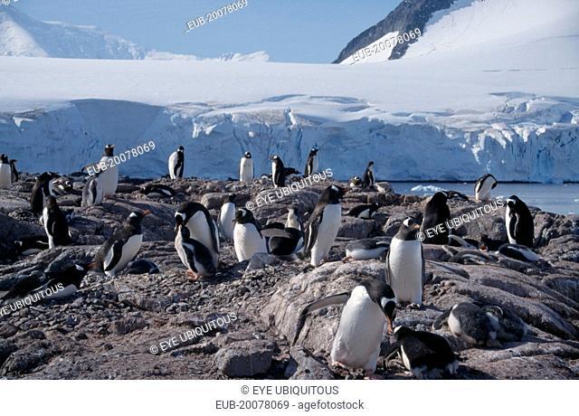 Port Lockroy. A large group of Gentoo Penguins on rocks