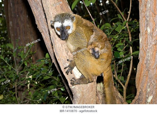 Red-Fronted Brown Lemur (Eulemur rufus) and young, Perinet Nature Reserve, Madagascar, Africa