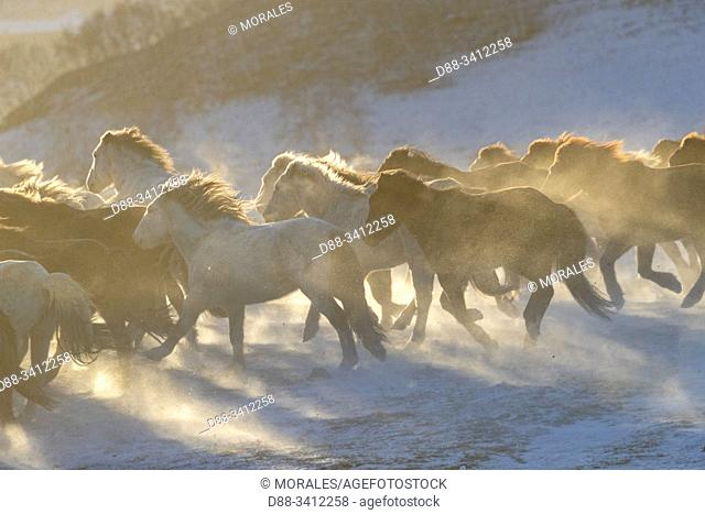 China, Inner Mongolia, Hebei Province, Zhangjiakou, Bashang Grassland, horses in a meadow covered by snow