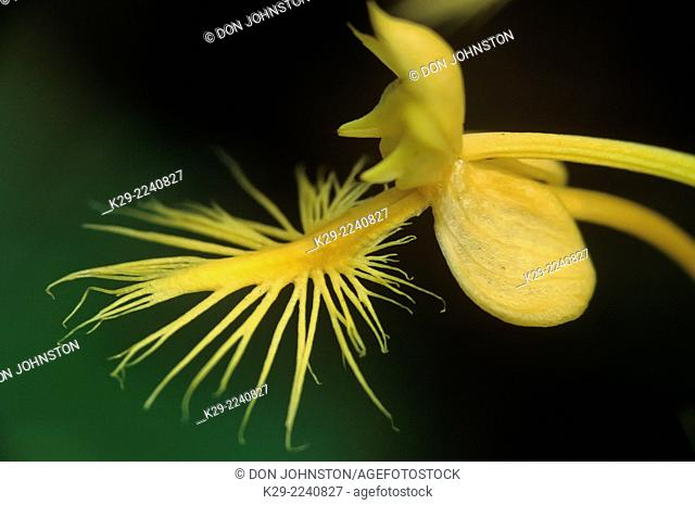 Yellow fringed orchid, Habernaria ciliaris, Great Smoky Mountains National Park, Tennesse, USA