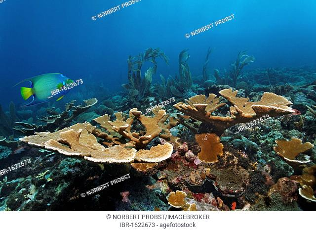 Coral reef, fish, fused Staghorn Coral (Acropora prolifera), Queen Angelfish (Holacanthus ciliaris), Little Tobago, Speyside, Trinidad and Tobago