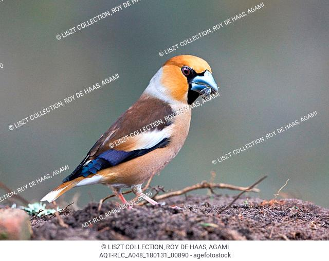 Hawfinch perched on ground with food, Hawfinch, Coccothraustes coccothraustes