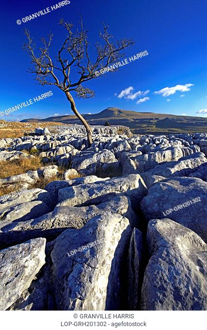 England, North Yorkshire, Twistleton Scars. A solitary hawthorn tree growing out of limestone pavement