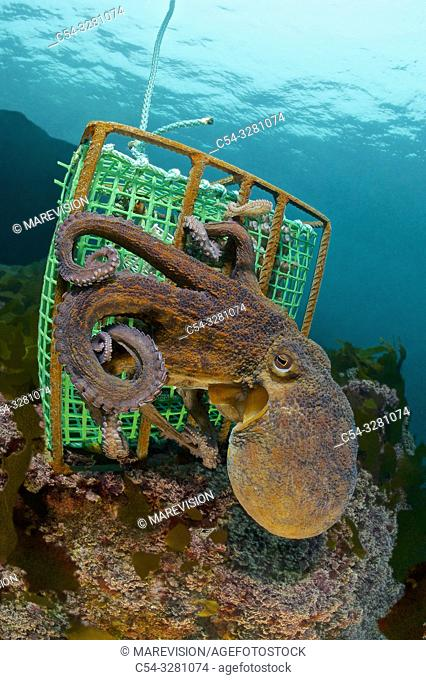 Professional fishing. Professional octopus traps. . Octopus (Octopus vulgaris). Eastern Atlantic. Galicia. Spain. Europe