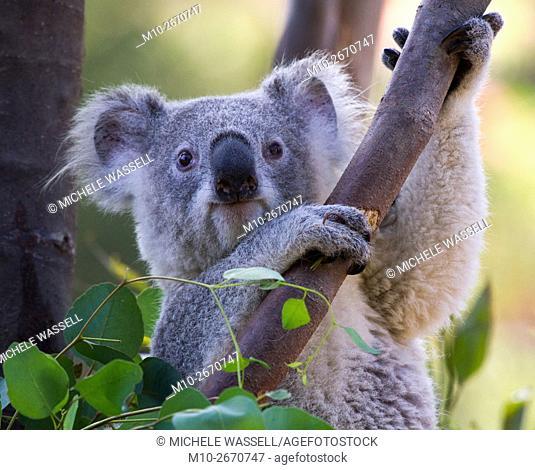 Koala in a Eucalyptus tree in North America, USA
