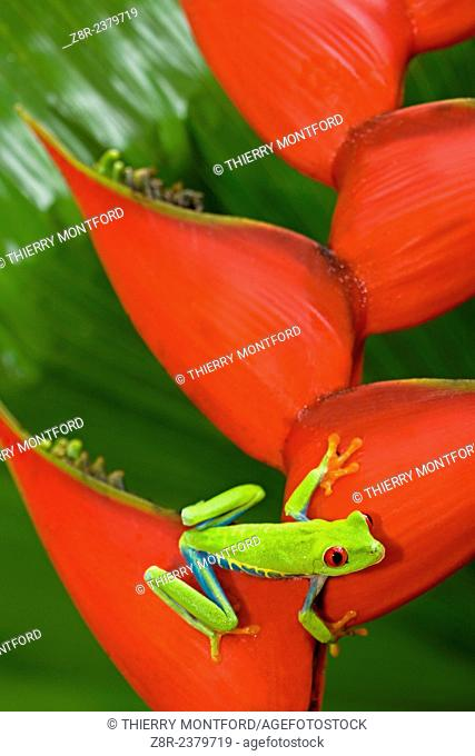 Agalychnis callidryas - red eyed tree frog on a Héliconia bihai. Costa Rica