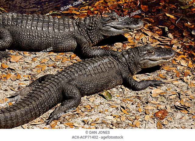 American Alligator, Alligator Mississippiensis, Florida Everglades, USA