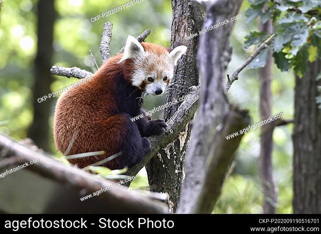Red panda is sitting on a tree in the zoo Brno, Czech Republic, September 19, 2020. (CTK Photo/Vaclav Salek)