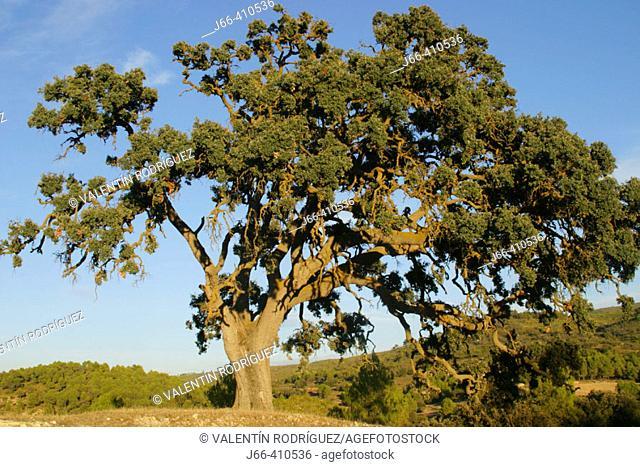 Oak (Quercus ilex). Sierra Mariola. Alicante province. Spain