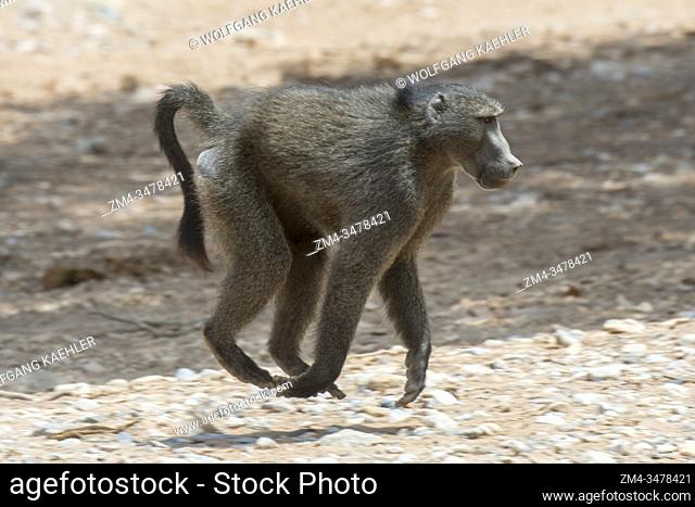 A Chacma baboon (Papio ursinus) is running through the dry Huanib River Valley in northern Damaraland and Kaokoland, Namibia
