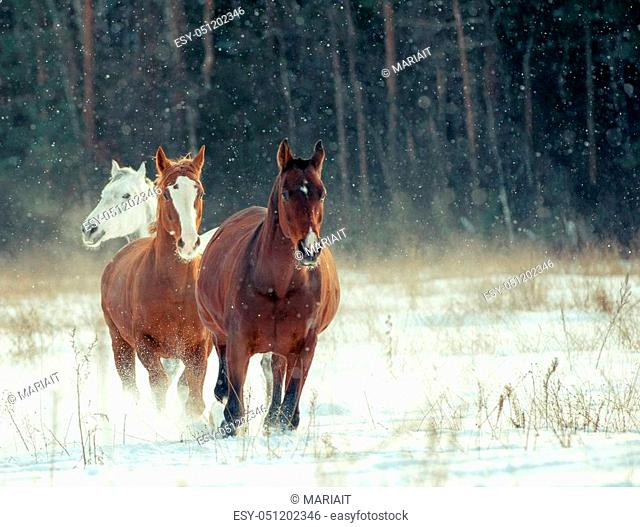 horses herd in winter running with the forest on background