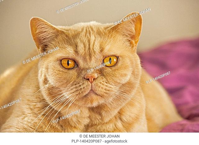 British Shorthair domesticated cat in house