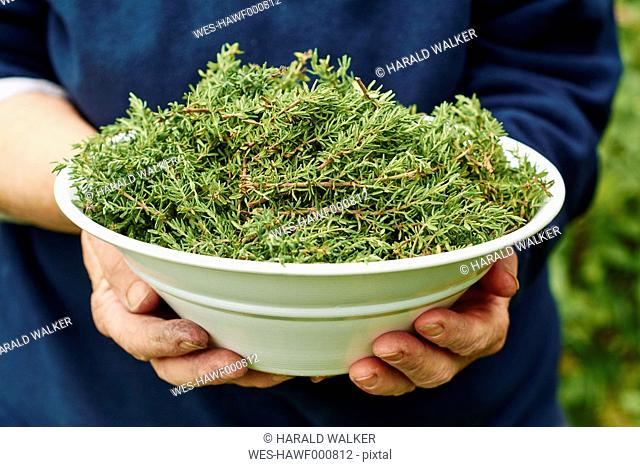 Woman holding bowl of freshly harvested common thyme