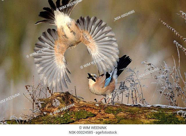 Eurasian Jays (Garrulus glandarius) fighting, The Netherlands