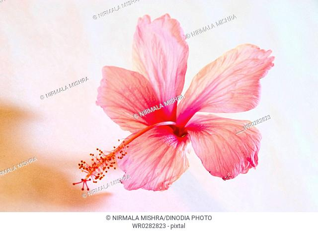 Nature , Shoe flower hibiscus color pink used for Ayurvedic and Herbal medicine , India