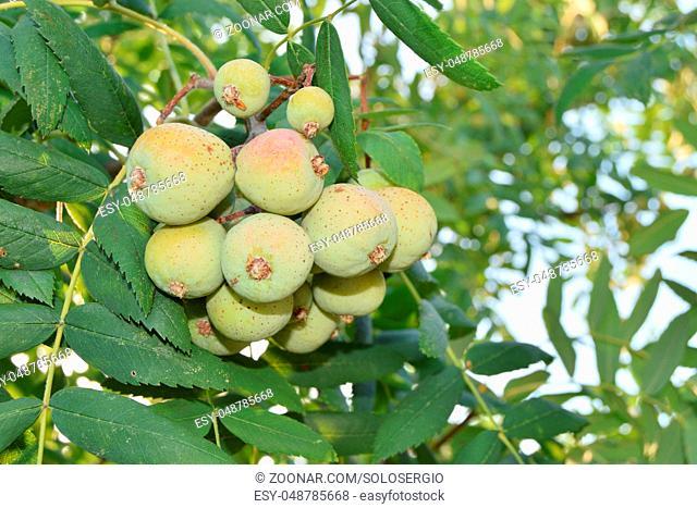 Closeup of unripe rowans still on the tree