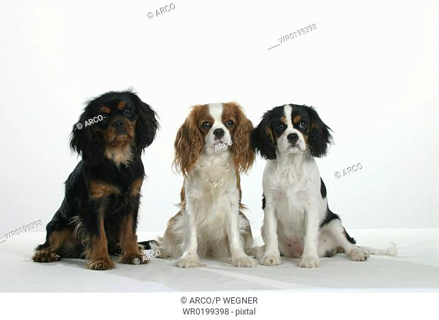 Cavalier, King, Charles, Spaniel, black-and-tan, tricolor, and, Blenheim