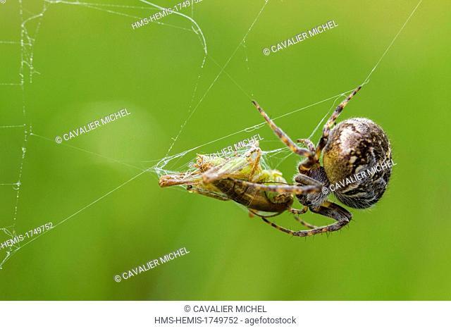 France, Var, Plaine des Maures National Nature Reserve, La Garde Freinet, a Fat orb web spider (Araneus grossus) imprisons a Grasshopper in a silk cocoon