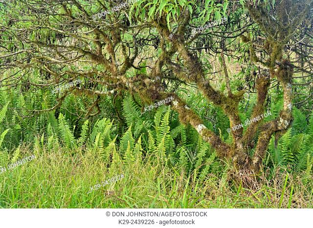 Scalesia forest and vegetation around the Twin Craters, Galapagos Islands National Park, , Ecuador