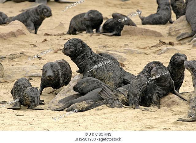 Cape Fur Seal, Arctocephalus pusillus, Cape Cross, Namibia , Africa, group of pups