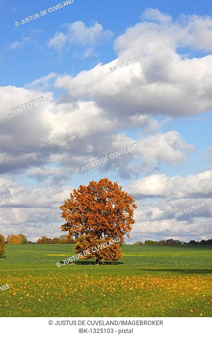 English Oak (Quercus robur) in autum colours, Pedunculate Oak, solitary tree, Kluetzer Winkel, Nordwestmecklenburg county, Mecklenburg-Western Pomerania