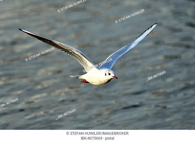 Black-headed Black-headed Gull (Chroicocephalus ridibundus, Larus ridibundus) in flight, Lake Zug, Canton of Zug, Switzerland