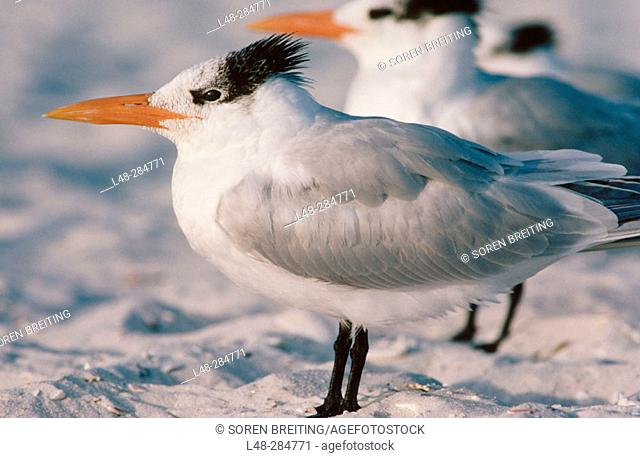 Royal Tern (Sterna maxima). Florida. USA