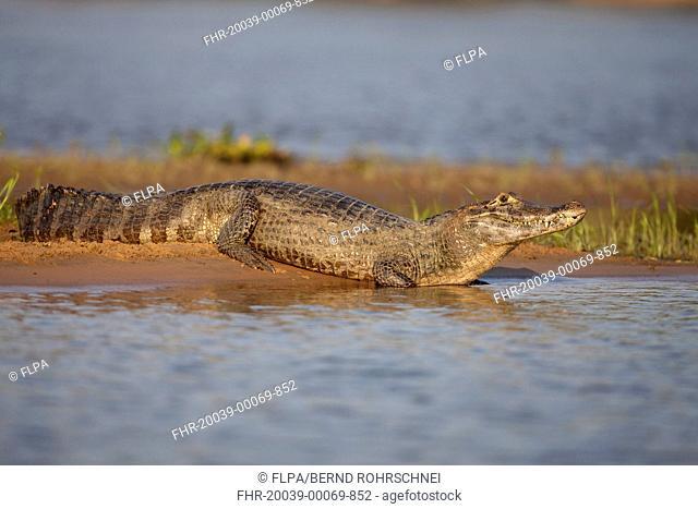 Paraguayan Caiman Caiman yacare adult, resting on riverbank, Paraguay River, Pantanal, Mato Grosso, Brazil