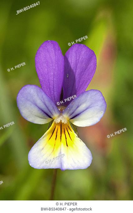 heart's ease, heartsease, wild pansy, three colored violet (Viola tricolor), single flower, Sweden