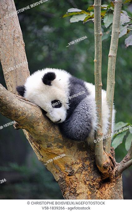 China, Sichuan, Chengdu, Bifengxia Panda Base Chengdu Research Base of Giant Panda Breeding, Sleeping baby panda