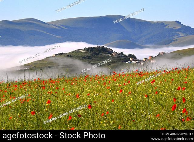 Fog among the poppies of the lentils bloom , Castelluccio di Norcia (Perugia) ITALY-07-07-2020
