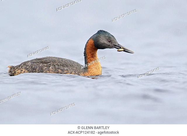 Great Grebe (Podiceps major) swimming in a small lake in Chile