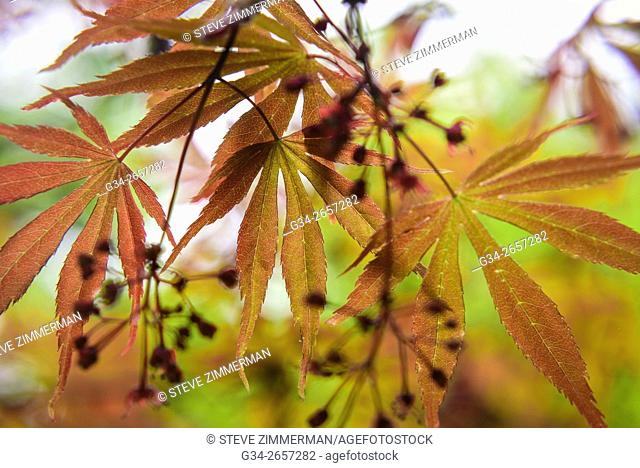 Maple Cluster