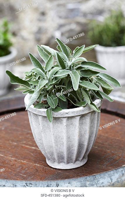 Sage in flowerpot