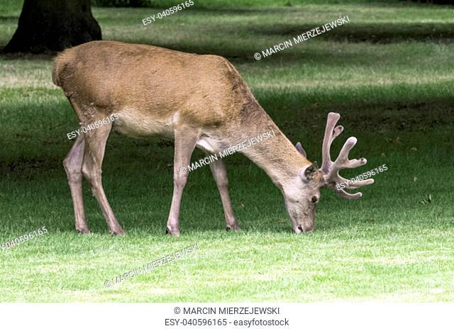 Wild male red deer