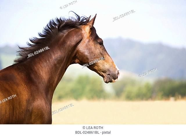 profile of brown horse