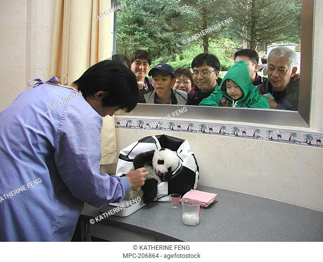 Giant Panda Ailuropoda melanoleuca, endangered, baby and care-taker being watched through the window by tourists wt the China Conservation and Research Center...