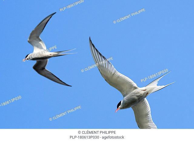 Two Arctic terns (Sterna paradisaea) in flight against blue sky, Shetland Islands, Scotland, UK