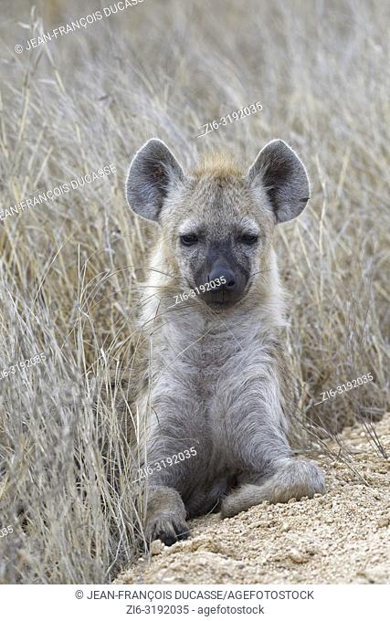 Spotted hyena or Laughing hyena (Crocuta crocuta) cub, lying on the edge of a dirt road, Kruger National Park, South Africa, Africa