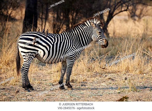 ZAMBIA, SOUTH, 01.10.2010, Plains Zebra or Burchell's zebra, Equus quagga, South Luangwa National Park, Zambia, Africa - South, Zambia, 01/10/2010