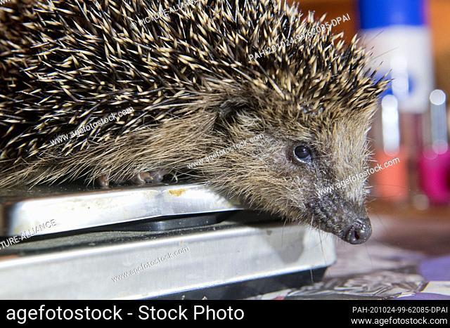 "23 October 2020, Mecklenburg-Western Pomerania, Kirch Baggendorf: A hedgehog sits on a letter scale in the hedgehog rescue centre """"Hedgehog box"""""