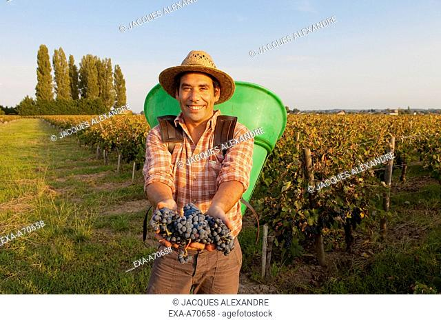 Wine harvest in St. Emilion, Bordeaux, France