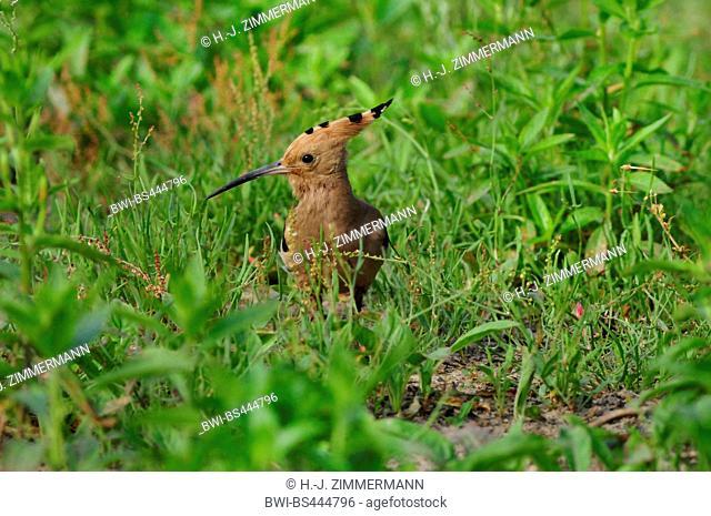 hoopoe (Upupa epops), on the ground, Germany