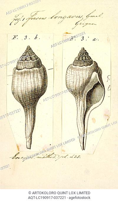 Fusus longaevus, Print, Fusus is a genus of small to large sea snails, marine gastropod mollusks in the family Fasciolariidae