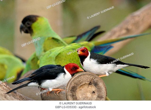 Birds, Prince-black, Cardinal-pity-swampland, Pantanal, Mato Grosso do Sul, Brazil