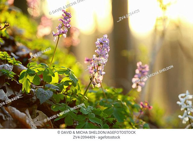 Blossoms from a (Corydalis cava) by sunset