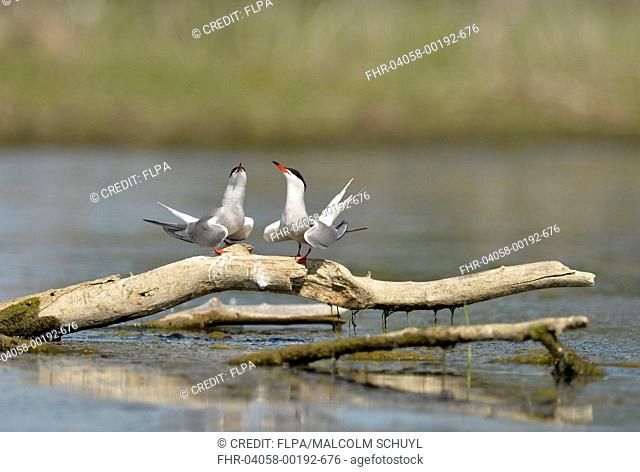 Common Tern (Sterna hirundo) adult pair, breeding plumage, in courtship display, standing on branch over water, Danube Delta, Tulcea, Romania, May