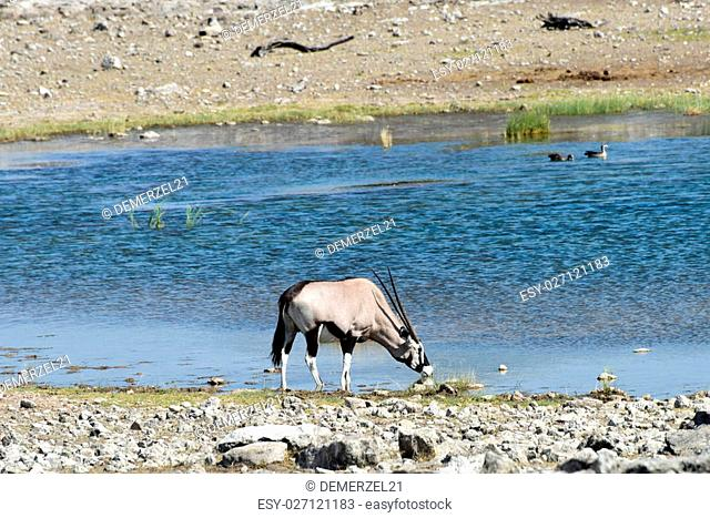 Oryx at a watering hole in Etosha National Park, Namibia