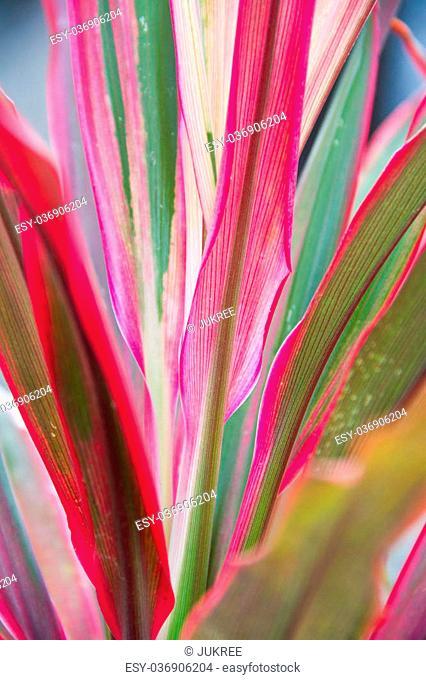 Cordyline leaves
