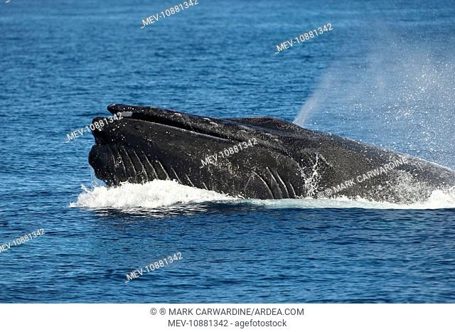 Humpback Whale - lunging male fighting over a female (Megaptera novaeangliae). Sea of Cortez - Baja California - Mexico